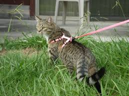 cat wearing a harness