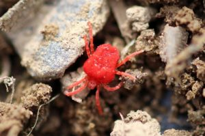 red mite or poultry mite