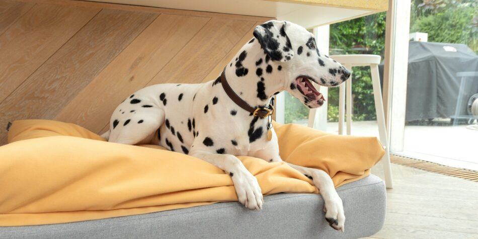 Dalmatian laying on topology dog bed with yellow beanbag topper