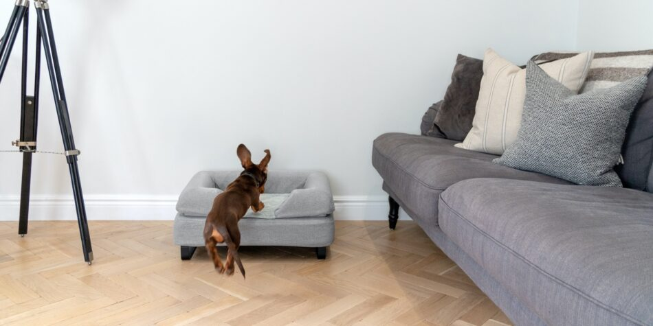 Dog jumping on topology dog bed with bolster topper.
