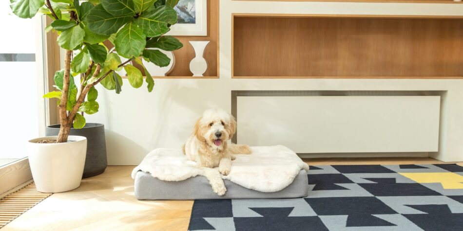 Dog sitting on topology bed with sheepskin topper